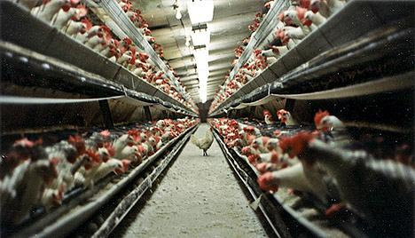 Chickens in perpetual daylight in a factory farm
